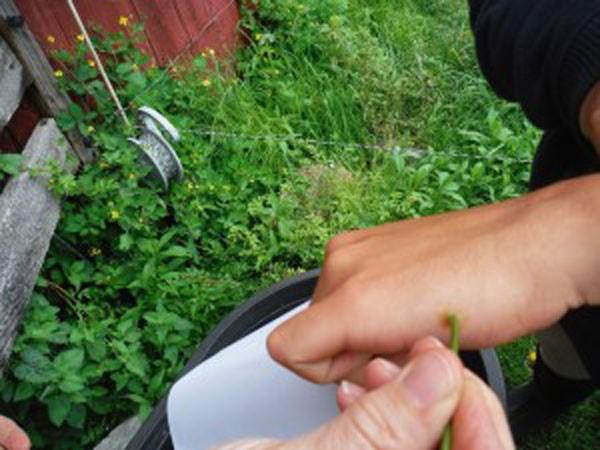 прижигание бородавки соком свежесорванного растения