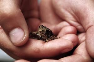 Очень часто бородавки ассоциируются с жабами иди лягушками