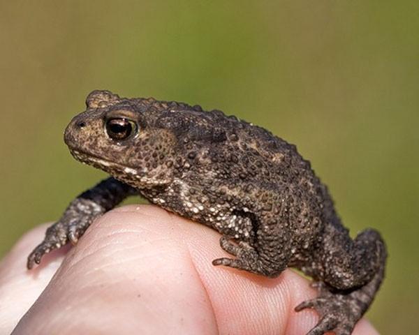 доказано, что лягушки не могут быть причиной появления на коже бородавок